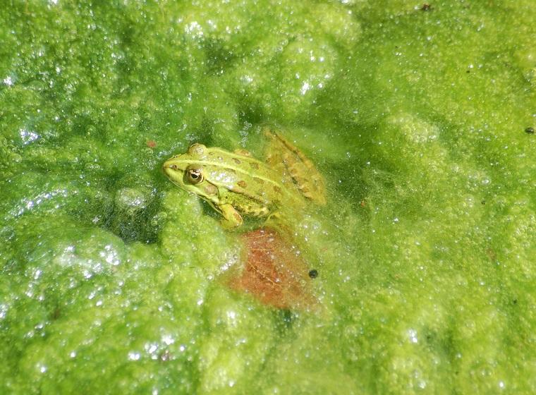 Frosch im Algenteich